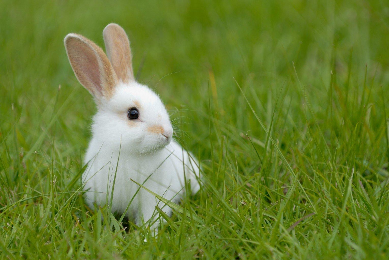 lapin-blanc-1