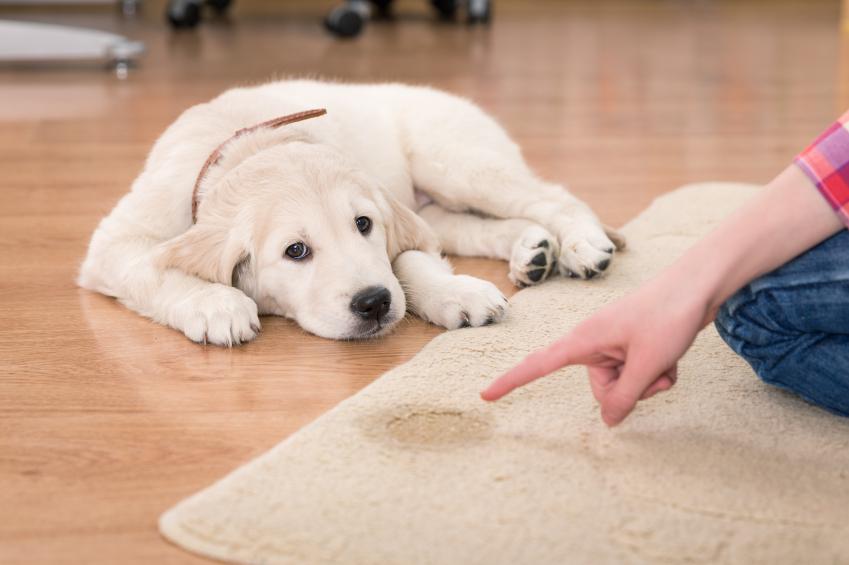 Comment apprendre la propreté à votre chien ?