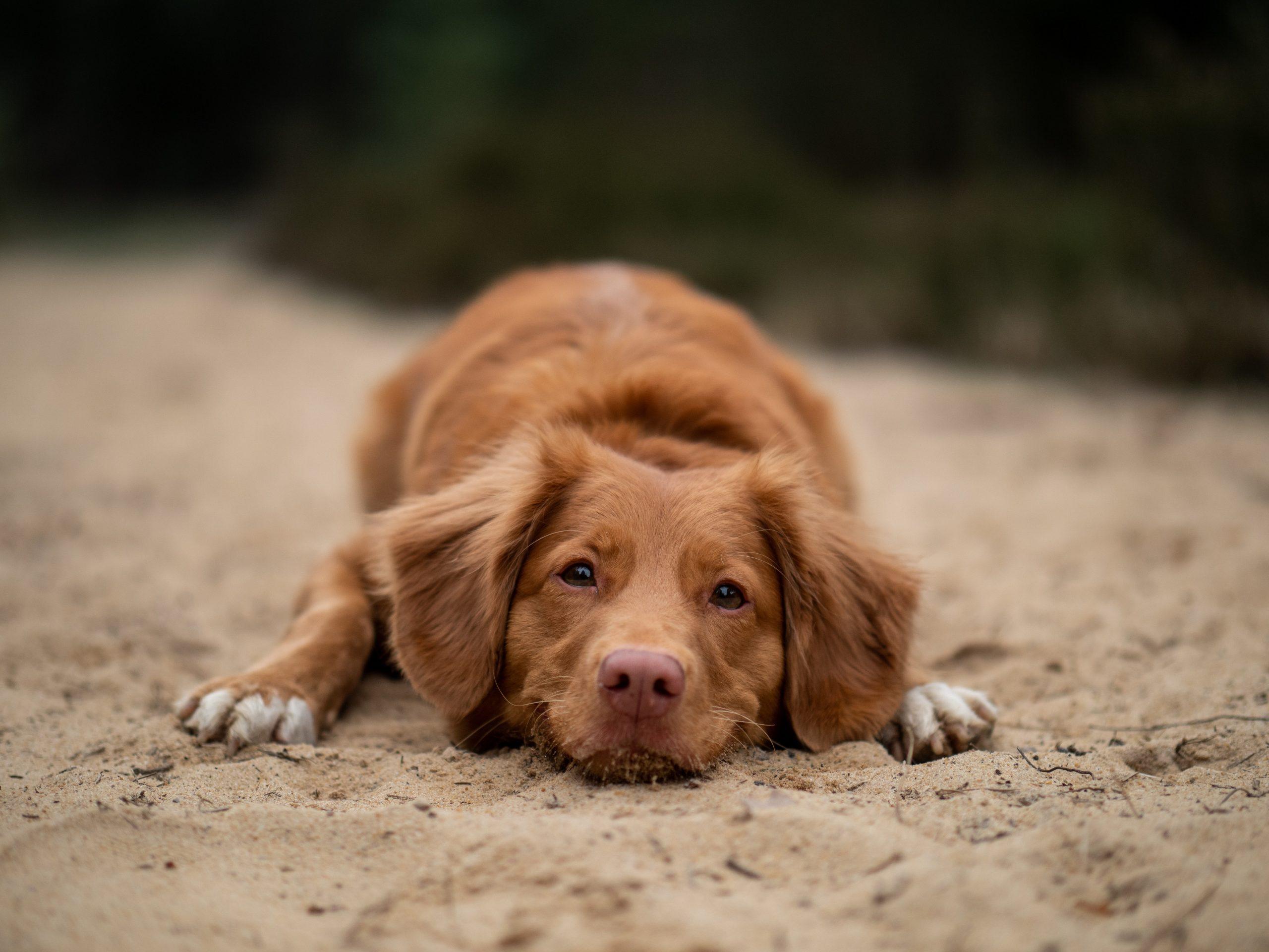 Que faire si votre chien a été empoisonné?